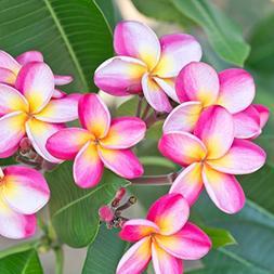 pink plumeria rooted plant rainbow