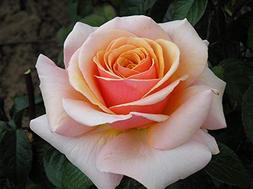 IDEA HIGH Sweet Revelation - Bareroot Hybrid Tea Garden Rose